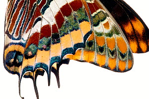 Two-tailed pasha butterfly (Charaxes jasius) butterfly recently emerged from chrysalis, close up of wings inflating, emergence sequence 14/15, Umbria, Italy, August.  meetyourneighbours.net project  -  MYN / Paul Harcourt Davies