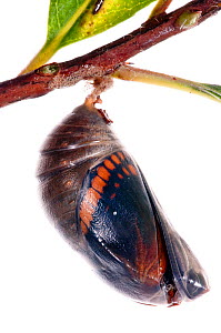 Two-tailed pasha butterfly (Charaxes jasius) pupal case cracking, emergence sequence 3/24, Italy, August.  meetyourneighbours.net project  -  MYN / Paul Harcourt Davies
