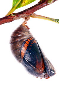 Two-tailed pasha butterfly (Charaxes jasius) pupal case cracking, emergence sequence 4/24, Italy, August.  meetyourneighbours.net project  -  MYN / Paul Harcourt Davies