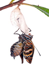 Two-tailed pasha butterfly (Charaxes jasius)butterfly just emerged from pupal case, emergence sequence 10/24, Italy, August.  meetyourneighbours.net project  -  MYN / Paul Harcourt Davies
