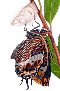 Two-tailed pasha butterfly (Charaxes jasius)butterfly recently emerged from pupal case, wings inflating, emergence sequence 12/24, Italy, August.  meetyourneighbours.net project  -  MYN / Paul Harcourt Davies