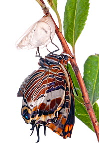 Two-tailed pasha butterfly (Charaxes jasius)butterfly recently emerged from pupal case, wings inflating, emergence sequence 13/24, Italy, August.  meetyourneighbours.net project  -  MYN / Paul Harcourt Davies