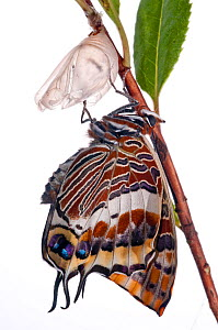 Two-tailed pasha butterfly (Charaxes jasius)butterfly recently emerged from pupal case, wings inflating, emergence sequence 14/24, Italy, August.  meetyourneighbours.net project  -  MYN / Paul Harcourt Davies