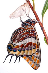 Two-tailed pasha butterfly (Charaxes jasius)butterfly recently emerged from pupal case, wings inflating, emergence sequence 15/24, Italy, August.  meetyourneighbours.net project  -  MYN / Paul Harcourt Davies