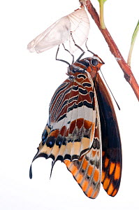 Two-tailed pasha butterfly (Charaxes jasius)butterfly recently emerged from pupal case, wings inflating, emergence sequence 16/24, Italy, August.  meetyourneighbours.net project  -  MYN / Paul Harcourt Davies