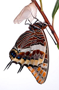 Two-tailed pasha butterfly (Charaxes jasius)butterfly recently emerged from pupal case, wings inflating, emergence sequence 18/24, Italy, August.  meetyourneighbours.net project  -  MYN / Paul Harcourt Davies