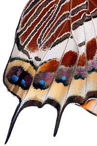 Two-tailed pasha butterfly (Charaxes jasius)butterfly recently emerged from pupal case, close up of wings inflating, emergence sequence 20/24, Italy, August.  meetyourneighbours.net project  -  MYN / Paul Harcourt Davies
