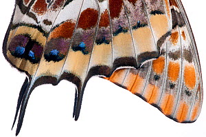 Two-tailed pasha butterfly (Charaxes jasius)butterfly recently emerged from pupal case, close up of wings inflating, emergence sequence 21/24, Italy, August.  meetyourneighbours.net project  -  MYN / Paul Harcourt Davies