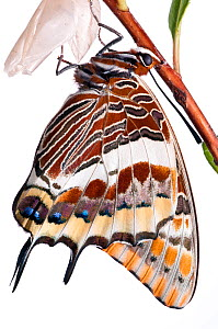 Two-tailed pasha butterfly (Charaxes jasius)butterfly recently emerged from pupal case, emergence sequence 22/24, Italy, August.  meetyourneighbours.net project  -  MYN / Paul Harcourt Davies