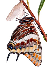 Two-tailed pasha butterfly (Charaxes jasius)butterfly recently emerged from pupal case, emergence sequence 23/24, Italy, August.  meetyourneighbours.net project  -  MYN / Paul Harcourt Davies