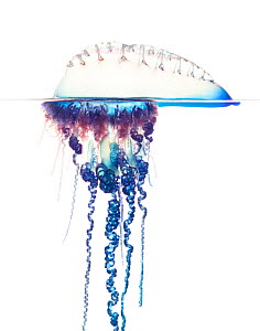 Portuguese man-of-war (Physalia physalis) Florida, USA, December. meetyourneighbours.net project  -  MYN / Paul Marcellini