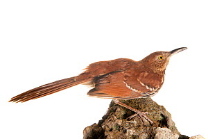 Brown thrasher (Toxostoma rufum) perched, Florida, USA, March . meetyourneighbours.net project  -  MYN / Paul Marcellini