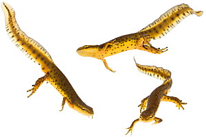 Red spotted / Eastern Newts (Notophthalmus viridescens) swimming; from a vernal pool, Woburn, Massachusetts, USA, April, digital composite. meetyourneighbours.net project  -  MYN / Piotr Naskrecki