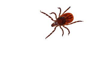 Deer tick (Ixodes scapularis) carrier of Lyme disease, Concord, Massachusetts, USA, April. meetyourneighbours.net project - MYN / Piotr Naskrecki