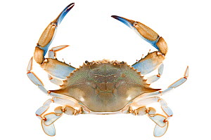 Blue crab (Callinectes sapidus) dorsal view,  Woburn, Massachusetts, USA, June. meetyourneighbours.net project  -  MYN / Piotr Naskrecki