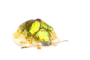 Anacua tortoise beetle (Coptocycla texana) Sabal Palm Sanctuary, Lower Rio Grande Valley, Texas, USA, September. meetyourneighbours.net project  -  MYN / Seth Patterson