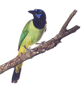 Green Jay (Cyanocorax yncas) perched, Sabal Palm Sanctuary, Lower Rio Grande Valley, Texas, USA, September. meetyourneighbours.net project  -  MYN / Seth Patterson