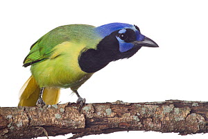 Green Jay (Cyanocorax yncas) perched, looking curious, Sabal Palm Sanctuary, Lower Rio Grande Valley, Texas, USA, September. meetyourneighbours.net project  -  MYN / Seth Patterson