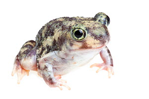 Couch's Spadefoot toad (Scaphiopus couchii)  Lower Rio Grande Valley, Texas, USA, July. meetyourneighbours.net project  -  MYN / Seth Patterson