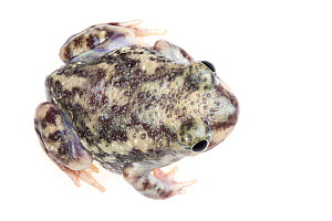 Couch's Spadefoot toad (Scaphiopus couchii)  dorsal view, Lower Rio Grande Valley, Texas, USA, July. meetyourneighbours.net project  -  MYN / Seth Patterson