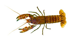Common Yabby crayfish (Cherax destructor) underwater dorsal view, Victoria, Australia, July. meetyourneighbours.net project  -  MYN / John Tiddy
