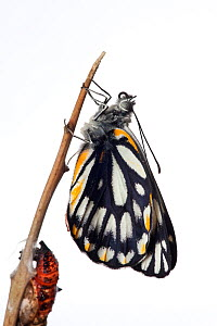 Caper White Butterfly (Belenois java) adult recently emerged from chrysalis, Victoria, Australia, April.  meetyourneighbours.net project  -  MYN / John Tiddy