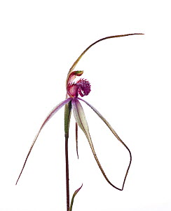 Tawny Spider orchid (Caladenia fulva) in flower on a dewy morning, Victoria, Australia, August. meetyourneighbours.net project  -  MYN / John Tiddy