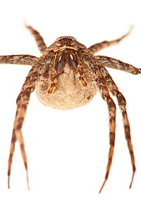 Fishing spider (Dolomedes sp) female with eggsac, Everglades NP, Florida, USA, November. meetyourneighbours.net project  -  MYN / Mac Stone