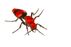 Cow killer velvet ant (Dasymutilla occidentalis) Everglades NP, Florida, USA, June. meetyourneighbours.net project - MYN / Mac Stone
