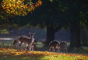 Fallow deer (Dama dama) grazing, Holkham, Norfolk, November 2011 - David Tipling / 2020VISION