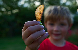 Young boy holding a Sycamore seed Norfolk, August 2011 Model released  -  David Tipling / 2020VISION