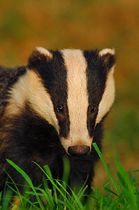 Portrait of an adult Badger (Meles meles), Derbyshire, UK  -  Andrew Parkinson / 2020VISION