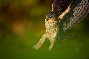 An adult female Sparrowhawk (Accipiter nisus) landing on a collared dove kill in a garden, Derbyshire, UK, November 2011. Did you know? In falconry sparrowhawks were traditionally used by priests.  -  Andrew Parkinson / 2020VISION