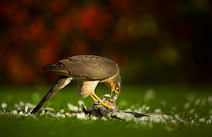 Adult female Sparrowhawk (Accipiter nisus) feeding on a collared dove kill in a garden, Derbyshire, UK, November 2011  -  Andrew Parkinson / 2020VISION