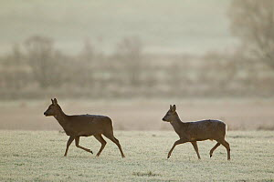 Two Roe deer (Capreolus capreolus) walking across a frosty field, Scotland, UK, November 2011 - Mark Hamblin / 2020VISION
