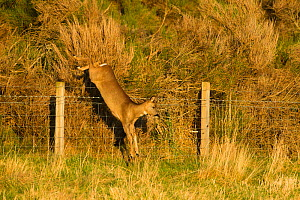 Roe deer (Capreolus capreolus) doe jumping stock fence, Scotland, UK, November 2011 Sequence 5/6 - Mark Hamblin / 2020VISION