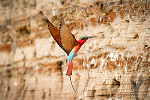 Southern Carmine bee-eater (Merops nubicoides) returning to nest hole in river bank, Luangwa River, South Luangwa National Park, Zambia, October  -  Nick Garbutt