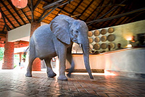 Juvenile African elephant (Loxodonta africana) wanders through a tourist safari lodge, Mfuwe Lodge, South Luangwa NP, Zambia, October  -  Nick Garbutt