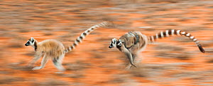 Two female Ring-tailed lemurs (Lemur catta) carrying infants (3-4 weeks) while running across open ground, Berenty Private Reserve, southern Madagascar. (digitally stitched image).  -  Nick Garbutt