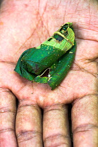 Egg case made by a female Giraffe-necked weevil (Trachelophorus giraffa) from the leaf of favourite host tree (Dichaetanthera cordifolia), a single egg is laid inside, Ranomafana National Park, easter...  -  Nick Garbutt