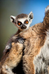 Young Ring-tailed lemur (Lemur catta) 6-8 weeks, clinging to mother, Berenty Private Reserve, southern Madagascar, November  -  Nick Garbutt