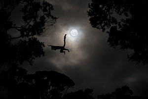Silhouette of Red-fronted brown lemur (Eulemur rufus) leaping across gap in trees by moonlight, cathemeral behaviour, Ranomafana National Park, south east Madagascar, November - Nick Garbutt