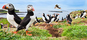 Atlantic puffins (Fratercula arctica) gathering around burrows on cliff top, Isle of Lunga, Treshnish Isles, Isle of Mull, Scotland, UK, June  -  Nick Garbutt
