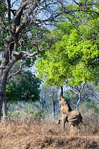 Adult bull African Elephant (Loxononta africana) reaching up to feed on foliage on the banks of the Luangwa River, South Luangwa National Park, Zambia, October  -  Nick Garbutt