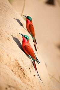 Southern Carmine bee-eaters (Merops nubicoides) near nest holes on the banks of the Luangwa River, South Luangwa National Park, Zambia, October  -  Nick Garbutt