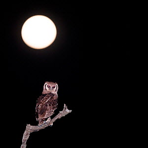 Verreaux's / Giant eagle-owl (Bubo lacteus) with full moon in the background, hunting along the banks of the Luangwa River, South Luangwa National Park, Zambia, October  -  Nick Garbutt