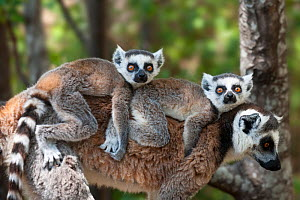 RF- Young Ring-tailed lemurs (Lemur catta) carried on mother's back, Madagascar. (This image may be licensed either as rights managed or royalty free.) - Nick Garbutt