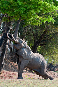 Adult bull African Elephant (Loxononta africana) trunk reaching up to feed on foliage on the banks of the Luangwa River, South Luangwa National Park, Zambia, October  -  Nick Garbutt