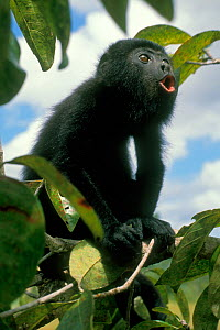Guatemalan black howler monkey (Alouatta pigra) sitting in tree howling, Community Baboon Sanctuary, Belize. Endangered species.  -  Kevin Schafer