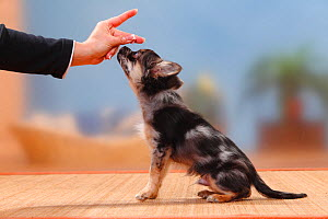 Longhaired blue-merle Chihuahua puppy, 17 weeks, learning to sit and getting treat. Model released - Petra Wegner